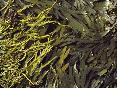 Algue marine
